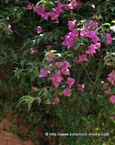 Plantas trepadoras perennes                              …
