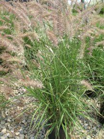 Pennisetum orientale 'Karley Rose'. Karley Roase Fountain Grass.
