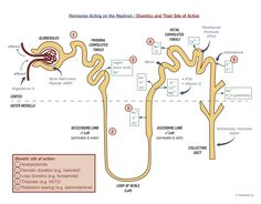 The nephron showing reabsorption, hormone action, and diuretic action.