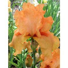 Iris barbata-elatior 'Feu du Ciel' - Hohe Bart-Iris jetzt günstig in Ihrem MEIN SCHÖNER GARTEN - Gartencenter schnell und bequem online bestellen.