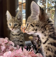 Savannah Cat and Kitten Breeder / For Sale in Los Angeles Savannah Kittens For Sale, Cats For Sale, Savannah Chat, Perfect Image, Perfect Photo, Love Photos, Cool Pictures, Savannah Cat Breeders, Serval Kitten