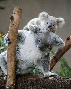 wonderful mom and baby koalas !!