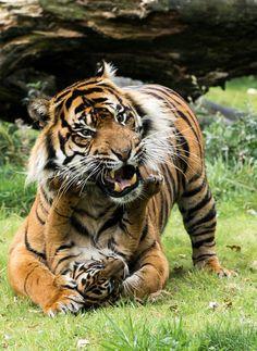 Foto: Amazing view  Grandes felinos Incluye a las cuatro especies de felino en el género Panthera: el león (Panthera leo), tigre (Panthera tigris), leopardo (Panthera pardus) y el jaguar (Panthera onca). Los miembros de este género son los únicos capaces de rugir, y esto se considera como un elemento característico de los grandes felinos Todos los felinos son eficientes depredadores carnívoros. Su rango de distribución incluye América, África, Asia y Europa. Sólo Oceania y la Antártida no…