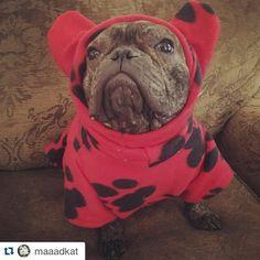 """Thanks Mom & Dad, I'm finally warm"", Fergus, the Toasty Warm French Bulldog, #oldguy, #fergus_bolt #watchdog #colddogsoup #ilovemybully #instadog #instabulls #hotdog #frenchboy #ilovemydog #instafrenchie #dogsofinstagram #bulldogs #instabullies #igfrenchie #dogandpals #bestwoof #frenchie #theworldofbullies #mydogiscutest #weeklyfluff #bullieslife #dogslife #happy #frenchielife #frenchiepost @maaadkat"