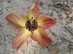 Coastal native Hibiscus called a Rosella, of tropical east Australia.  P1062055