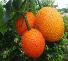 50 Fresh seeds Gac Fruit Momordica cochinchinensis for sale online Fruit Plants, Fruit Garden, Edible Garden, Fruit Trees, Weird Fruit, Strange Fruit, Kinds Of Fruits, Variety Of Fruits, Fruit And Veg