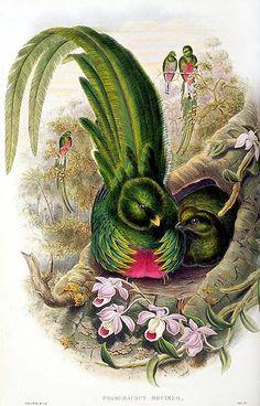 Quetzal by John Gould