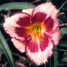 Summer Valentine - Daylily...I really really like this one!!