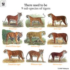 tigers of the world, including 3 now extinct