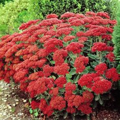 Sedum spectabile is an old-fashioned perennial with cabbage-like rosettes of succulent foliage throughout summer. Towards mid-summer, flat tightly-packed heads of green buds appear just above the foli