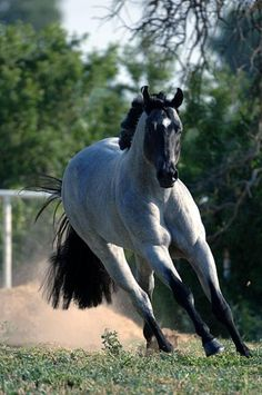 'My Final Notice' 2002 Blue Roan Western Pleasure Stallion LOVE LOVE LOVE...maybe someday one of his babies will be mine