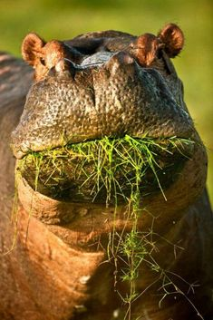 great mouth #Flusspferd
