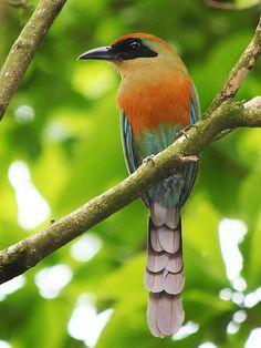 Resultado de imagem para aves do brasil