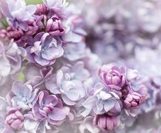 Lilac Fine Art Flower Photograph  Title: Beautiful Alice  Size: 8 x 10 Close up photograph of the exquisite double lilac Alice Christensen. –