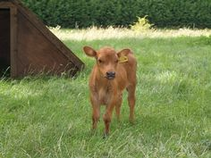 Why my restaurant & farm loves Dexter Cattle