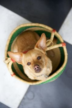 What an adorable Chihuahua angel !! Look at that beautiful face.......how could you say no ?