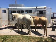 A Draft Horse and a Missouri Fox Trotter