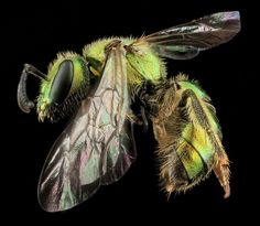Augochlorella aurata, Female:  New images, captured as part of the US Geological Survey's bee inventory.