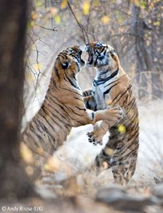 Bengal tiger female fighting with her 18 month old cub to drive it from her territory - View amazing Tiger photos - Panthera tigris - on ARKive Beautiful Cats, Animals Beautiful, Cute Animals, Siberian Tiger, Bengal Tiger, Tiger Tiger, Wildlife Photography, Animal Photography, Lion Tigre