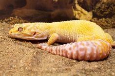 When is the Right Time for New Leopard Gecko Tank Setup?
