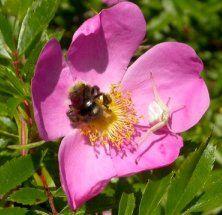 wild rose native to nova scotia