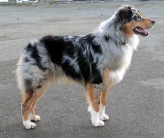 Le berger australien est une race de chien de berger. La Fédération cynologique internationale l'a enregistré sous le nom de australian shepherd, comme une race reconnue provisoirement depuis 1996 et définitivement depuis juin 2007.  http://authentiqueorigine.com/les-chiens-de-race-berger-australien.php