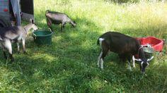 goat-sitting