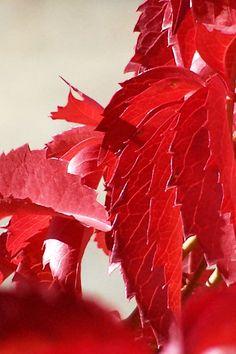 red leaves by jum jum