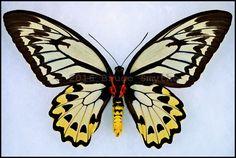 Ornithoptera Croesus Lydius -Female -Verso -Halmahera Island, Indonesia -(7 in wingspan).