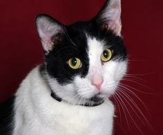 Oreo is an adoptable Domestic Short Hair-Black And White Cat in Indianapolis, IN. Meet Oreo. He is friendly with people and other cats. He loves to play with toys and enjoys attention. He is a funny c...