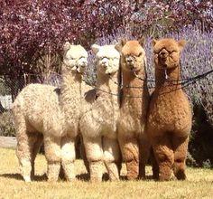 Alpaca Spectrum - #Alpacas