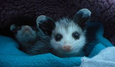 Cute baby opossum resting on his favorite blanket.- by Kathleen Shives