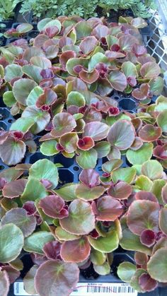 Begonias Cocktail Tequila Deep Rose Approximately 80 Live Starter Plants Ebay seller: sohappy64 Planting Tools, Begonia, Tequila, Succulents, Rose, Garden, Flowers, Plants, How To Make