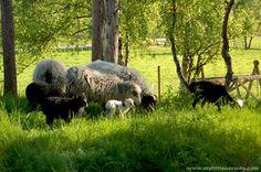 Spælsau Sheep - Google Search