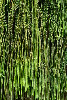 Common tassel fern