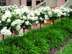 https://flic.kr/p/cguhDs   Flower Carpet White standards atop Snow Storm agapanthus   Even between flushes of beautiful, snow-white blooms, Snow Storm agapanthus provides dense clumps of strappy foliage that look divine beneath these Flower Carpet White roses trained as standards or topiary trees. For more information go to Tesselaar Plants' www.YourEasyGarden.com or www.Tesselaar.com