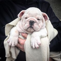The wrinkles on this English Bulldog Puppy make our heart hurt. So cute.   www.bullymake.com via: @socheddary