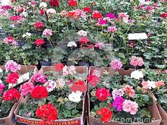 geranium plant sale price tag flowers marketplace bloom blooming blossoming botany color decoration decorative floral flowerpot foliage geranio green landscape leaf nature ornamental outdoor planter rustic spring summer beautiful gardening