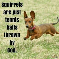 25 Ideas For Dogs And Puppies Funny Dachshund Dachshund Funny, Dachshund Puppies, Dachshund Love, Cute Puppies, Cute Dogs, Dogs And Puppies, Daschund, Doggies, Chiweenie Dogs