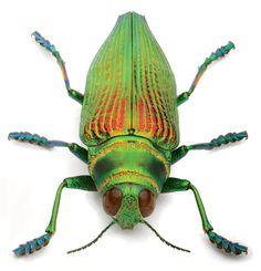Amazonian wood-boring beetle