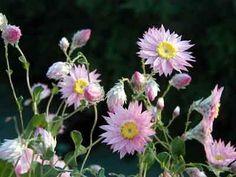 Rhodanthe-manglesii-Pink-Sunray-seeds-N-386
