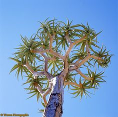 Photograph of Quiver Tree (Aloe dichotoma). Rights managed image. South African Flowers, Growing Succulents, Tree Quilt, Quiver, Tree Leaves, Cool Plants, Looking Up, Bing Images, Beautiful