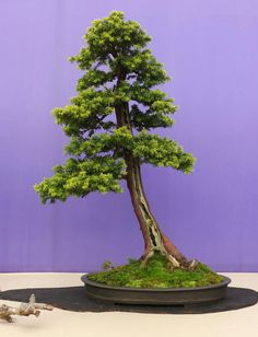 Bonsai Photo of The Day 12/22/16