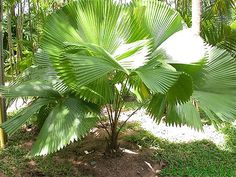 Licuala peltata var. 'sumawongii' (also referred to as L. elegans) - native to southern Thailand - grows to 2m