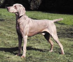 Weimaraner...aka...the grey ghost!