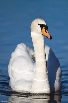 This beautiful swan looks so graceful with its soft white feathers gliding across the water.