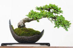 [F]盆栽。自然のものではなく、人の手によって整えられた独特な形。
