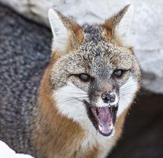 Grey Fox by Bonnie DeLap
