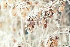 """Download the royalty-free photo """"Branch dry hops plants with cones in snow. Winter background. Dry hops plants branches covered with hoarfrost."""" created by Victoria Kondysenko at the lowest price on Fotolia.com. Browse our cheap image bank online to find the perfect stock photo for your marketing projects!"""