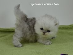 EigenauersPersians.Com, Persian Kittens,   kittens for sale